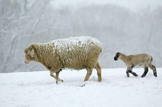 Domestic Sheep / Merino Sheep / Merinoschaf / Hausschaf