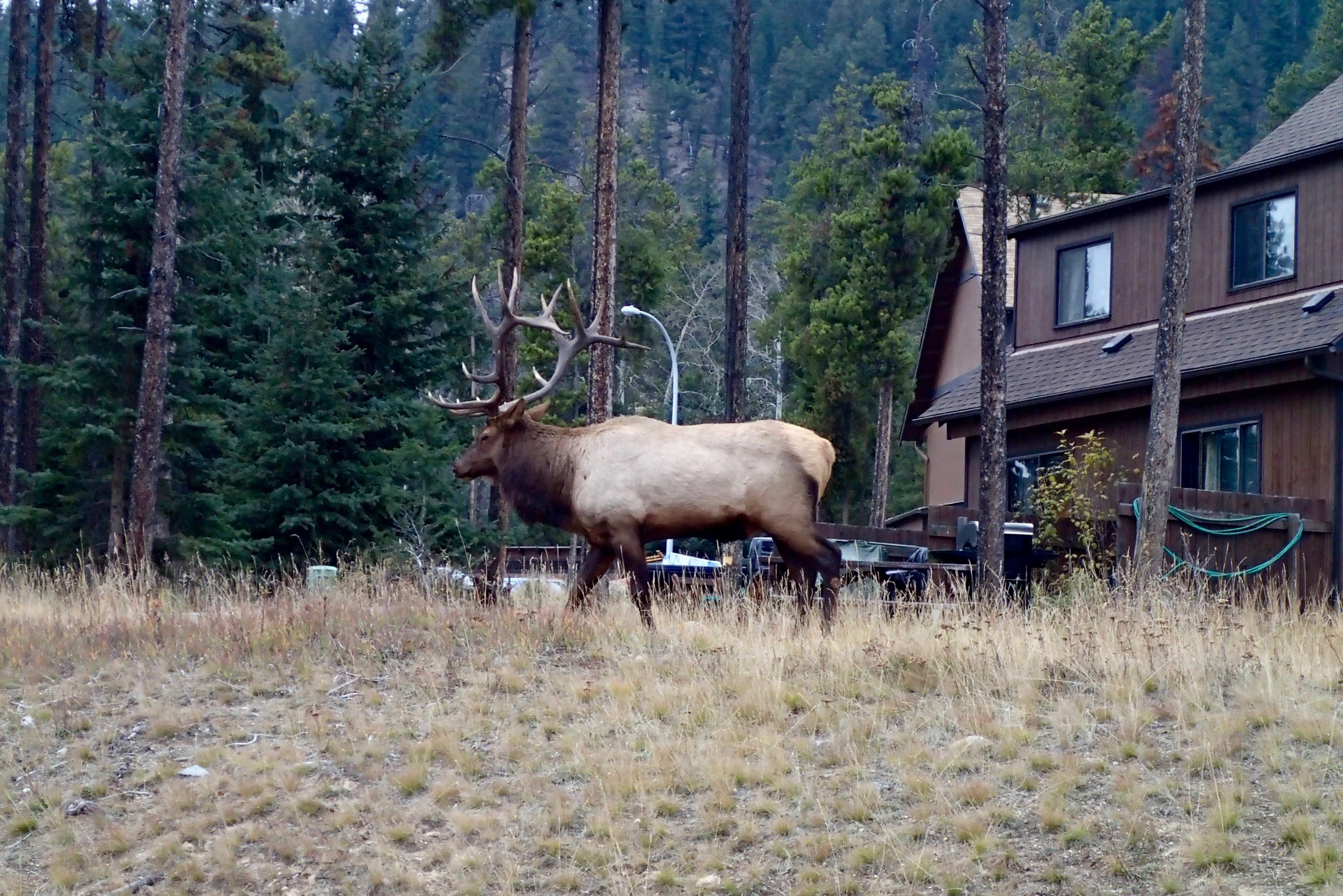 A caribou in Jasper